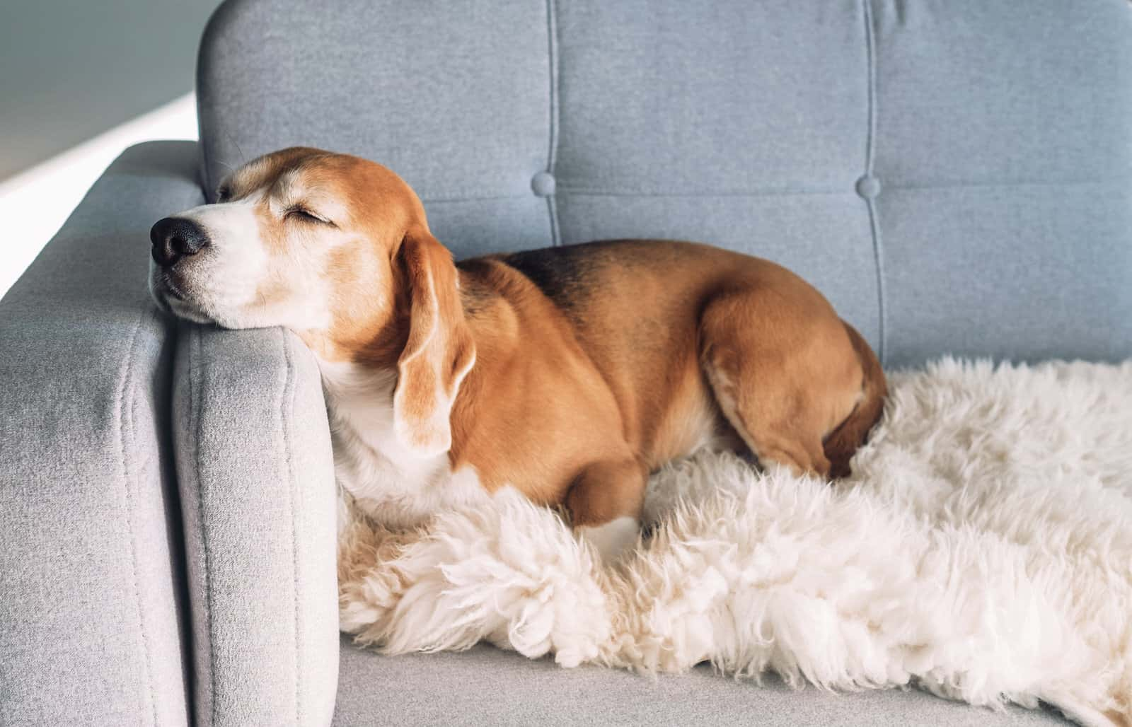 Keep your pet cool this summer. Like this dog resting its head on the arm of a sofa.