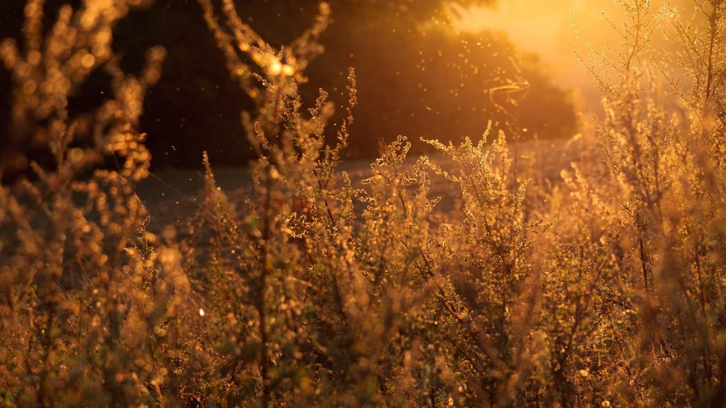 Seasonal allergies typically take the form of trees in spring, grass in summer, and ragweed (pictured) in fall.